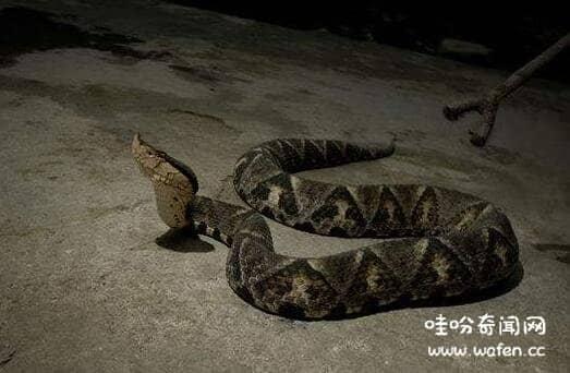 世界上最大的五步蛇长达44米银环蛇和五步蛇谁才是中国毒蛇之王